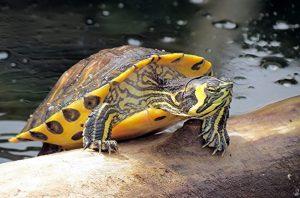 ▷ Tortugas: Tipos, características y fotografías de quelonios