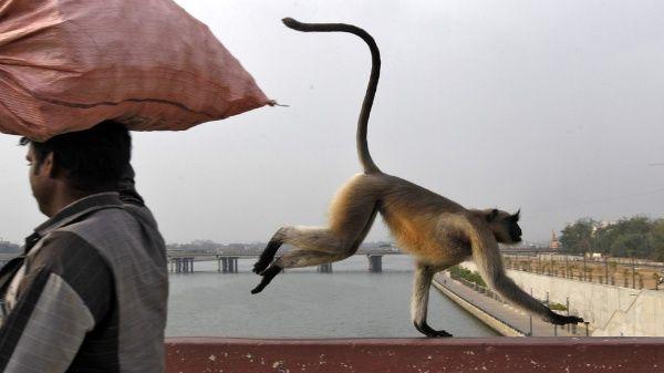Monos roban pruebas de Covid-19 positivo