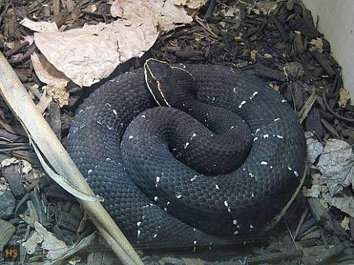Las serpientes venenosas de El Salvador