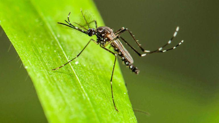 TODO sobre el Mosquito Tigre