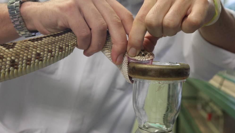 Las serpientes venenosas de Guatemala