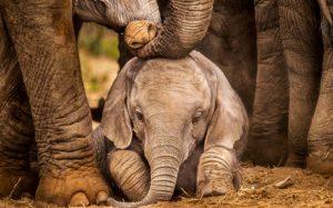 Elefante muere