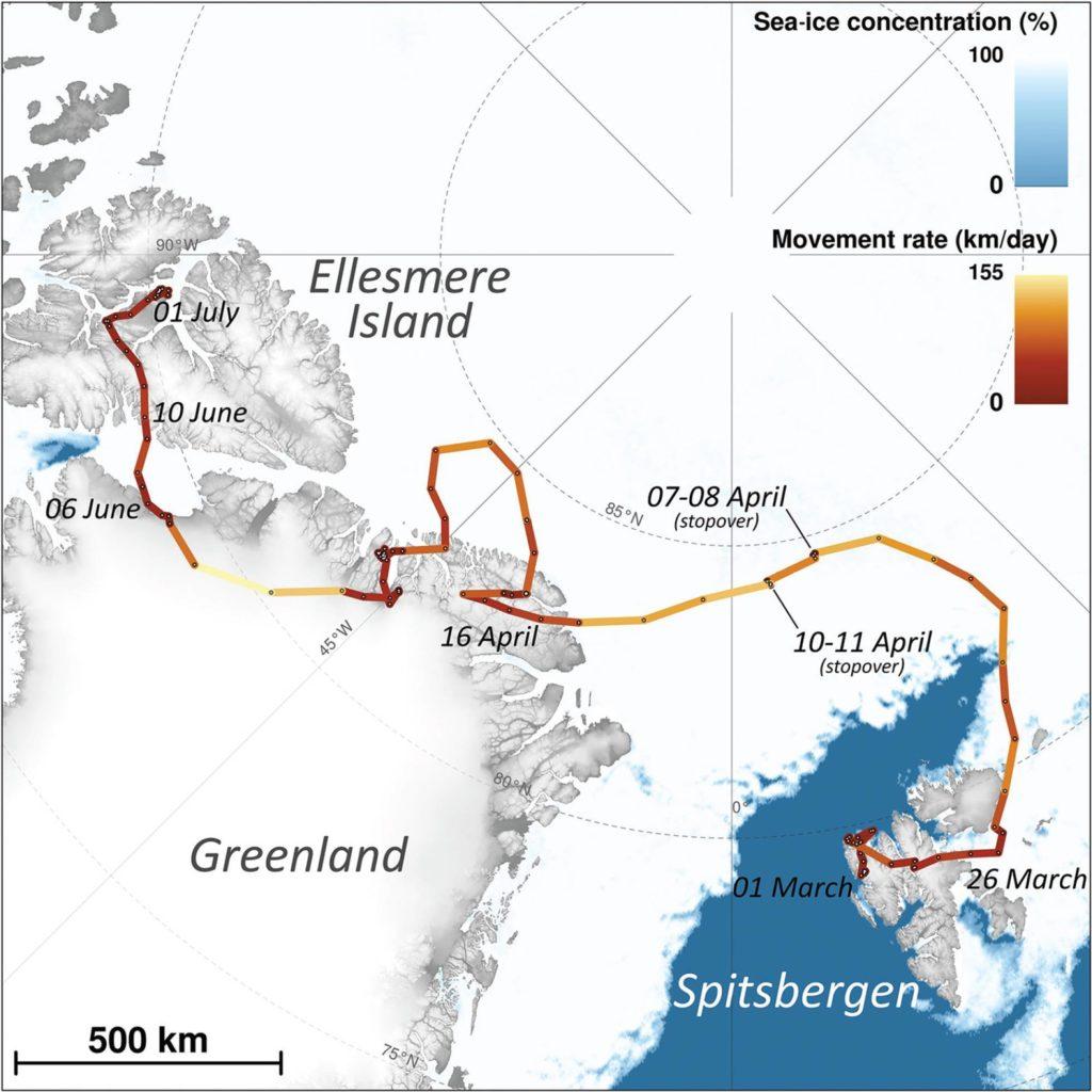 La ruta seguida por la zorra ártica. Foto: Instituto Polar Noruego.