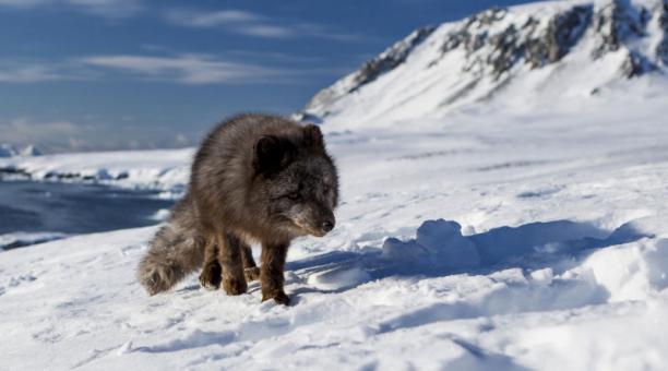 El viaje de una zorra ártica: De Noruega a Canadá en 76 días
