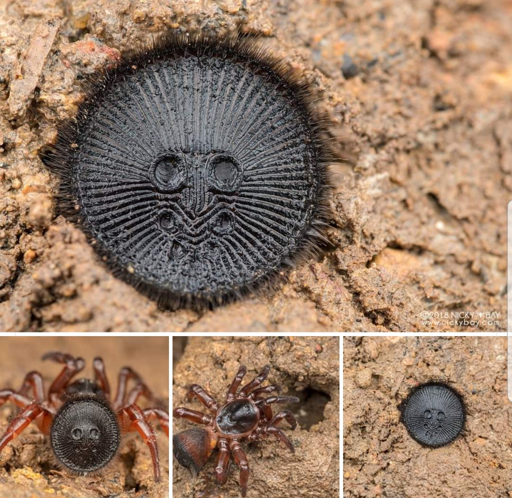 Araña Tapón
