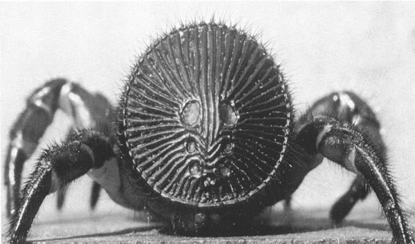 Araña Tapón, Araña Oreo