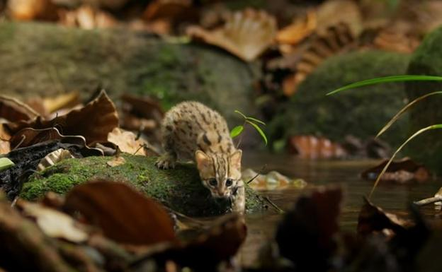 Gato Herrumbroso: El felino salvaje más pequeño del mundo